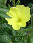 Free Evening Primrose seeds