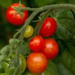 Free Tomato Seeds